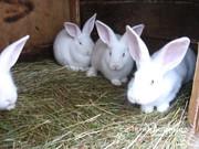 Кролики (кролі) білий панон