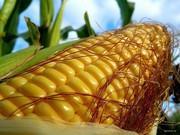 Кукуруза посевная. Всхожесть 94-98%.