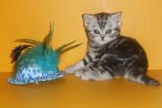 Чистокровные британские котята по FIFe системе