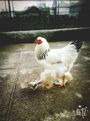 Кури породи світла брама,  чистокровна,  підрощені, добові, курчата,  яйця