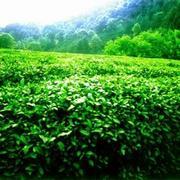Продам чай ,   зеленый чай, черный чай,  китайский чай